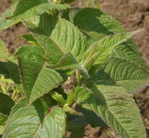 シソ科のハーブの特長がよく現れた茎葉です