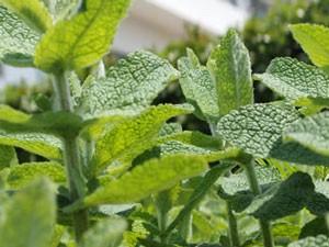 ハーブ ミントの園芸分類は多年生草本です