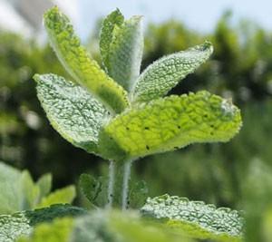 ハーブ ミントは全草に強い芳香がある