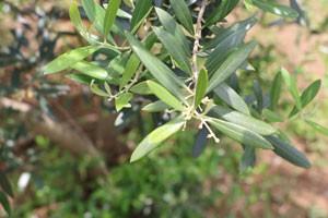 オリーブはモクセイ科の常緑樹です