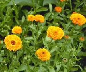 ポット・マリーゴールド タネは秋まきで翌年の早春より花を咲かせる