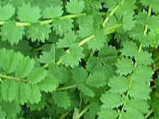 サラダバーネット 耐寒性で多年草のハーブ