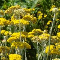 カレープラント 花茎を乾燥させてポプリに