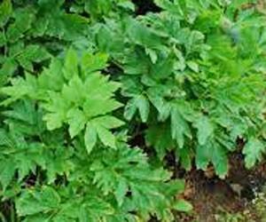 アシタバ 八丈島では野菜として食べられている
