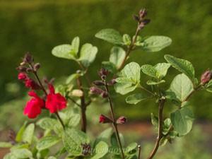 チェリー セージは花径が3cm程の唇形花を咲かせる