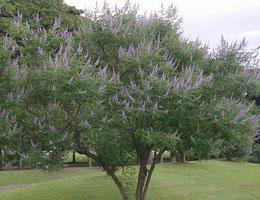 セイヨウニンジンボク 花が少なくなる7月から、さわやかなスミレ色の花を咲かせます