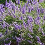 セイヨウニンジンボク 寒さにも強く、花が美しいことから栽培されるのが、セイヨウニンジンボクです