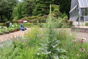 マーレインの花と葉には解毒、止血などの薬効があります
