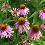 エキナセア 夏から秋にかけて開花するハーブ