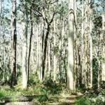 ユーカリノキ 常緑高木で半耐寒性のハーブ