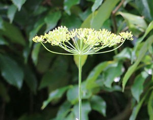 葉と茎葉とて細くて華奢なハーブ