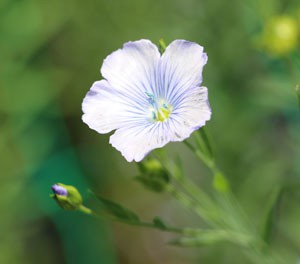 淡い青色が涼しげな夏の花