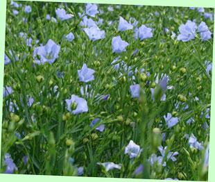 フラックスの種子から亜麻仁油が採れる