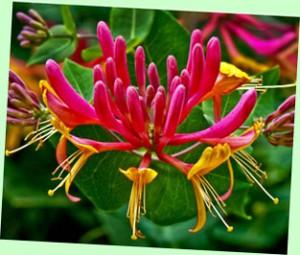 ハニーサックル 花には芳香があり食用になる