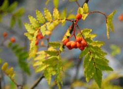 サンショウ 朝鮮半島南部を原産とする落葉性の低木