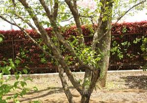 サンシュユは落葉高木です