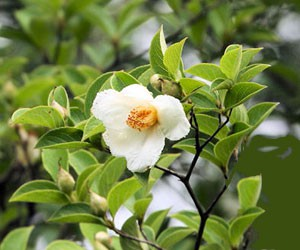 ナツツバキ 5cmくらいの白い花を咲かせます