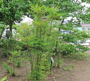 ナンテンは常緑低木で樹高は200cm余り
