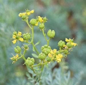 ルーは全草に独特の香りを含む、高い薬効のあるハーブ