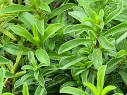 サボりー シソ科の草たけ30〜60cmの一年草
