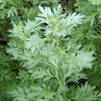 ワームウッド ヨーロッパからシベリア南部、アフリカ北部にかけて広く分布する多年草