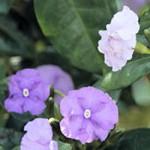 ニオイバンマツリ ジャスミンの香りがする外国から来た花という意味です