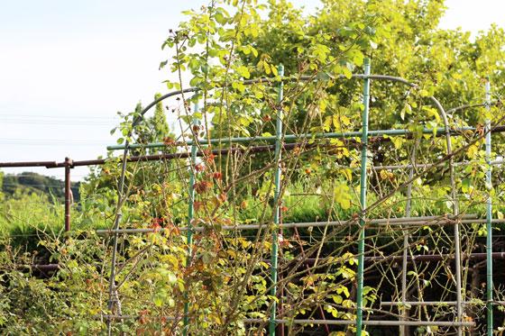 秋のつるバラ 大船植物園にて