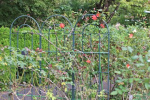 大船植物園のつるバラが咲く風景