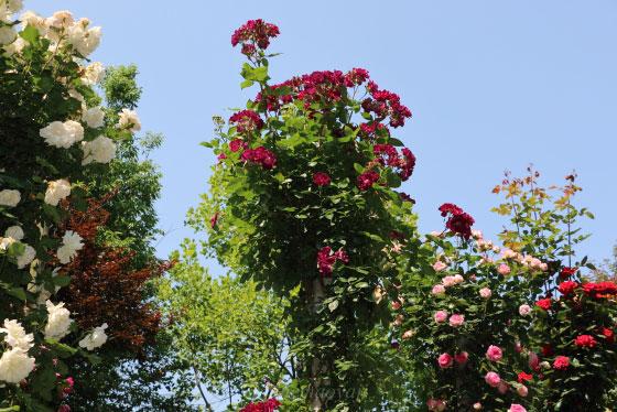 青空の日の京成バラ園