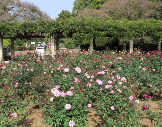 春の神代植物公園バラ園の風景