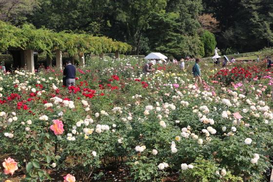 春の神代植物公園・バラ園の風景