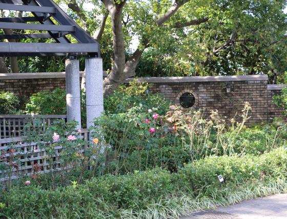 横浜のアメリカ山公園のバラ 風景