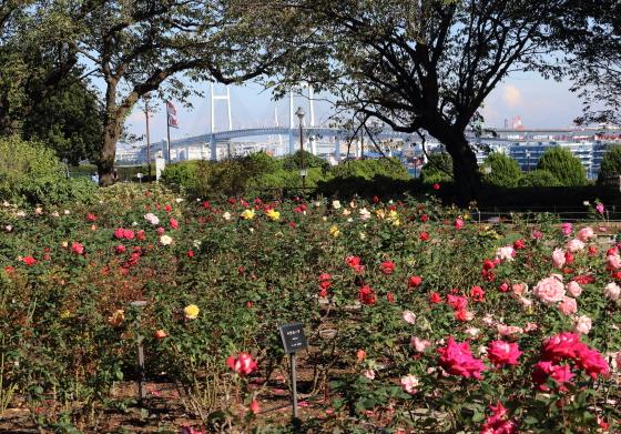 港の見える丘公園のバラ園の風景