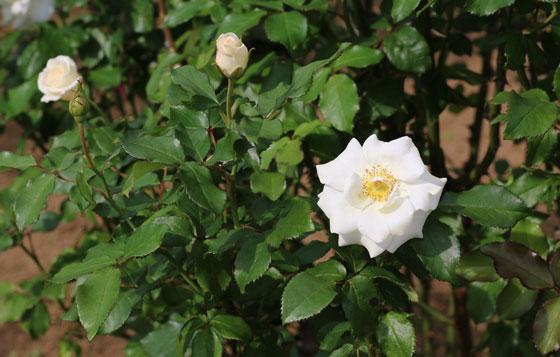 アキトの花径は9cmの中大輪サイズ