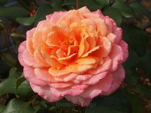 オレンジ色やピンク色の混じったエキゾチックな雰囲気のバラ