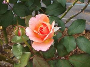 アルブレヒト デューラー ローズは半剣弁高芯咲きになる