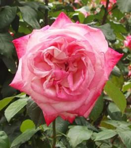アルサス75は剣弁高芯咲きのバラ