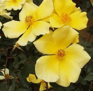 天の川は濃い黄金色で花弁数は4~8枚です