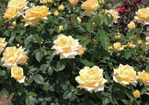 天津乙女は早咲き黄色系バラの代表品種の一つ