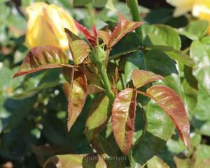 天津乙女の葉色は明るい緑色の照葉です