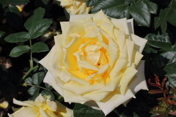 剣弁高芯咲きの花弁数は45枚程です