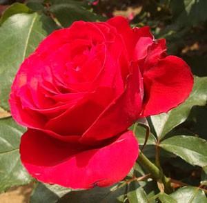 大輪咲きで花径は12cmを超える
