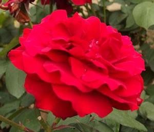 アメリカーナはハイブリッドティ系統のバラ