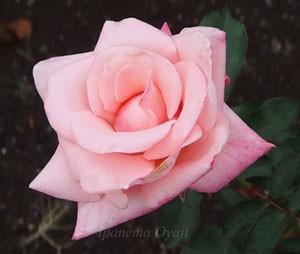 アメリカズ ジュニア ミスは明るいピンク色の大輪サイズ
