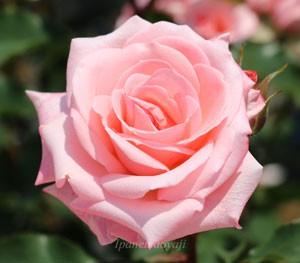 アメリカズ ジュニア ミスは半剣弁高芯咲きで25枚前後の花びら