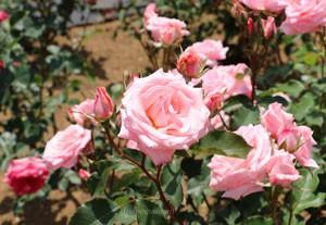 四季咲き性が強くシーズンを通して咲き続けます