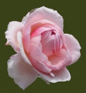 アン ブリンはロゼット咲きになります