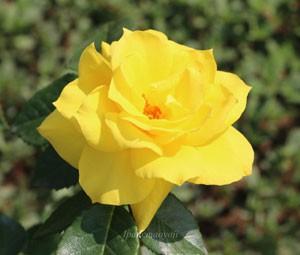アンソニー・メイアンの花弁数は約27~40枚