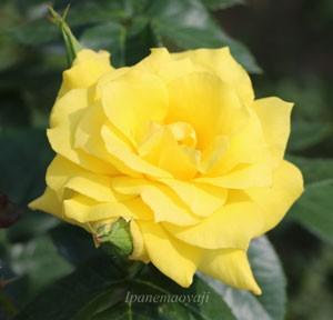 アンソニーメイアンの花径は10cmの大輪サイズ