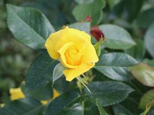アンソニー・メイアンは半剣弁高芯咲きです